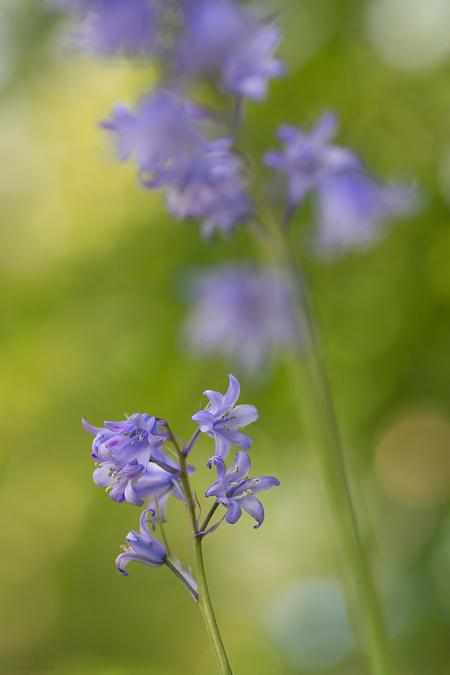Blue bells - - - foto door mourik57 op 05-05-2020 - deze foto bevat: macro, blauw, natuur, licht, voorjaar, herhaling, mei, sfeer, klokjes, brigit, bokeh, boshyacint