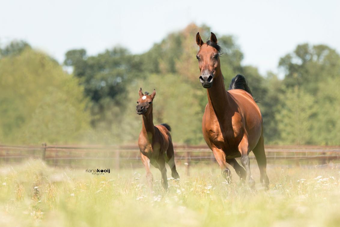 Merrie met veulen - Afgelopen vrijdag naar een stal geweest met Arabisch volbloed paarden, was een fantastische dag. We hadden heerlijk weer, prachtige paarden en zelfs  - foto door riana op 25-07-2017 - deze foto bevat: lente, paard, voorjaar, veulen, arabisch volbloed