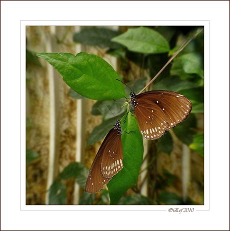 Vlinderduo Euploea core
