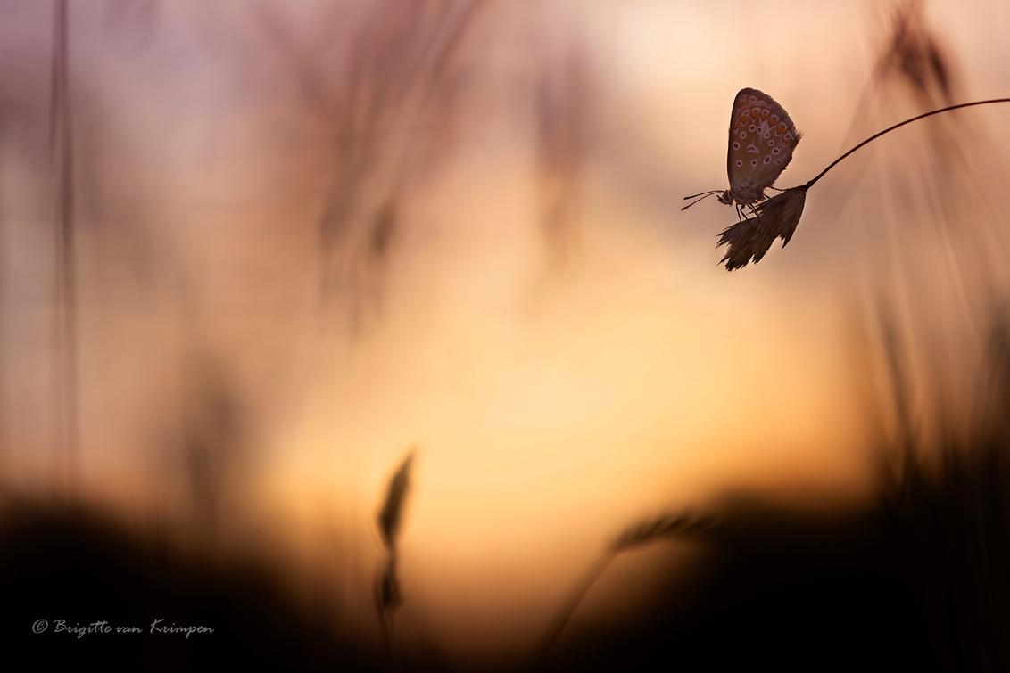 Saturday morning Blues - Icarus blauwtje vroeg in de ochtend bij zonsopkomst - foto door Puck101259 op 03-08-2020 - deze foto bevat: macro, natuur, vlinder, bruin, blauwtje, licht, oranje, tegenlicht, zonsopkomst, zomer, insect, sfeer, dof, moody, mood, bokeh, brigitte