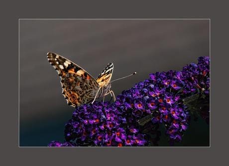 Op de vlinderstruik