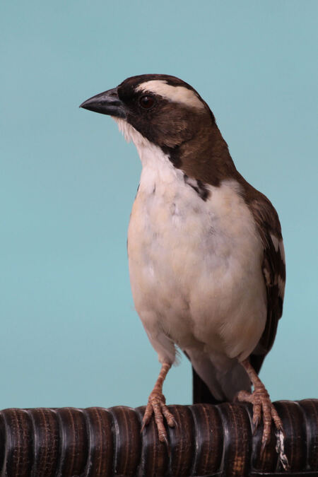 White-browed Sparrow-Weaver - Tussen de ochtend gamedrive en middag gamedrive hadden we een pauze bij onze lodge. Even bijkomen bij het zwembad van alle indrukken, die we 's morge - foto door dunawaye op 10-10-2010 - deze foto bevat: vogels, safari, kenia, sparrow, samburu, kenya, wever, weaver, Samburu National Reserve, White-browed Sparrow-Weaver, Sparrow-Weaver