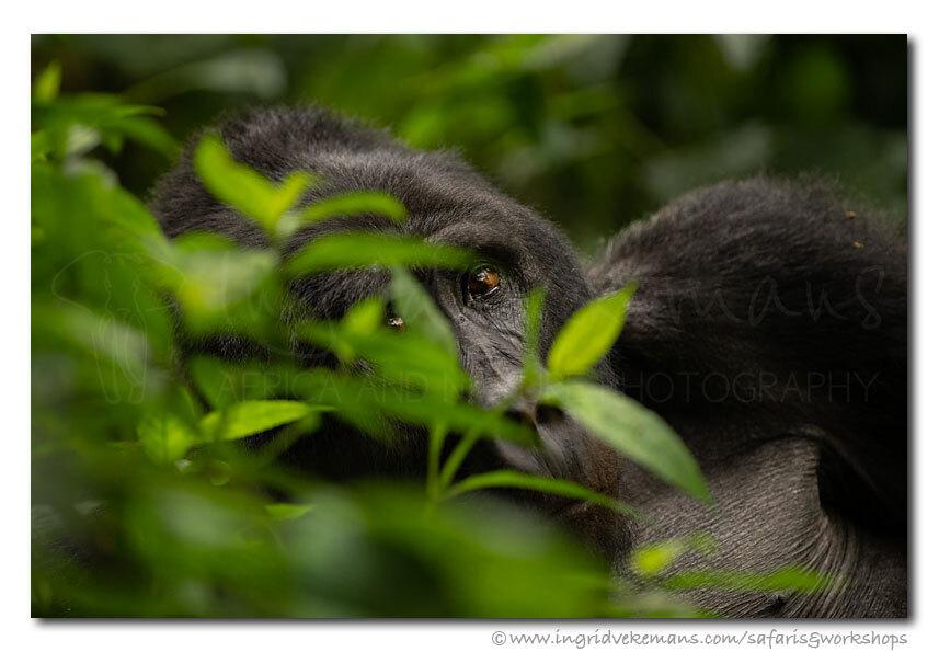 Jungle Focus - Na een steile klim bereikten we een grote, zeer actieve gorillafamilie. Baby's waren met elkaar aan het spelen, volwassenen waren aan het eten of aan - foto door IngridVekemans op 18-11-2019 - deze foto bevat: natuur, dieren, safari, aap, afrika, wildlife, oerwoud, jungle, regenwoud, workshop, oeganda, bwindi, fotosafari