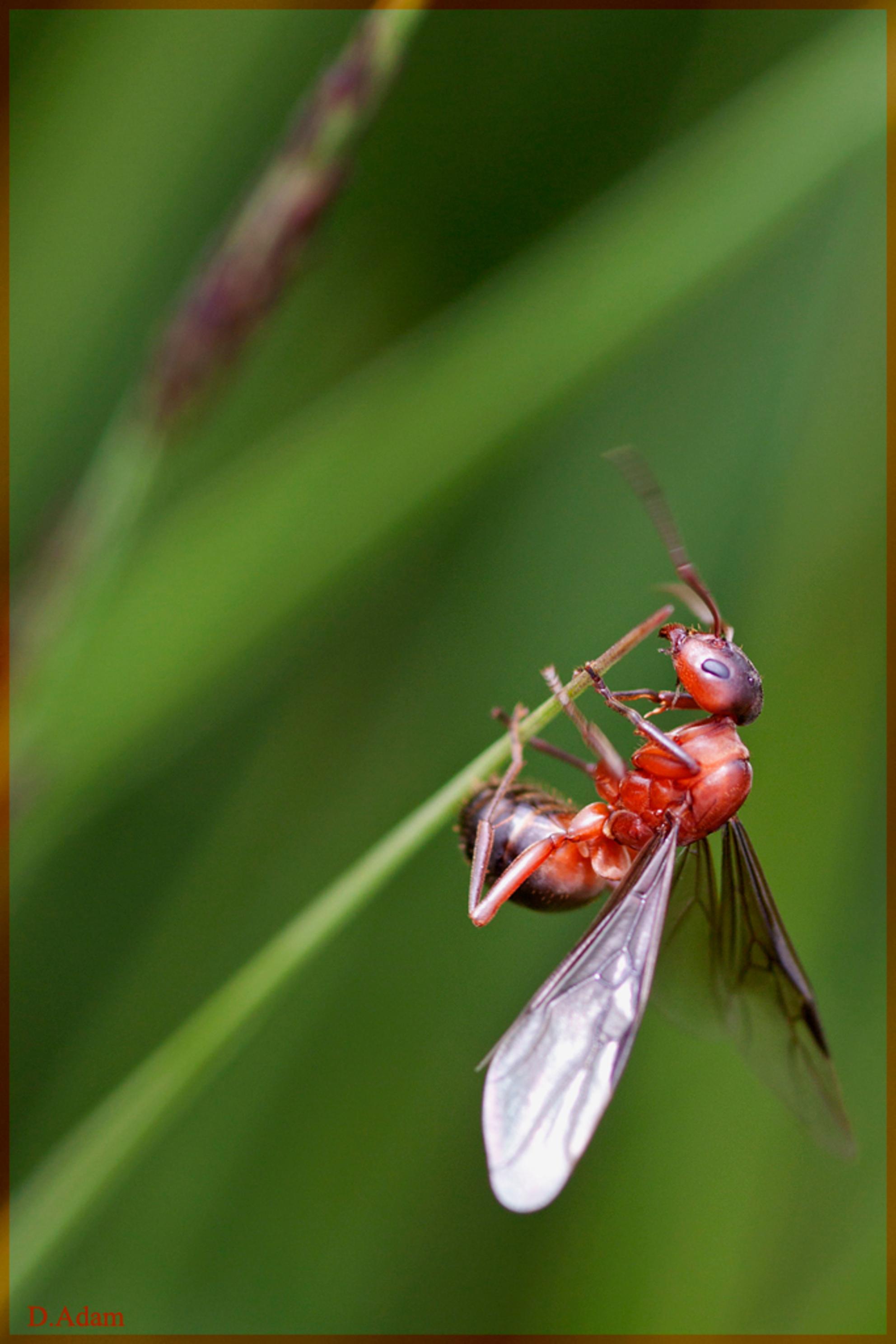 Vliegende mier - Een tijdje terug (juli om precies te zijn) ben ik nog met Gea en Frans een dagje naar de Engbertsdijksvenen geweest, lekker wandelen en fotograferen. - foto door deez66 op 31-08-2012 - deze foto bevat: macro, mier, bosmier, Rode mier, deez66, vliegende mier - Deze foto mag gebruikt worden in een Zoom.nl publicatie