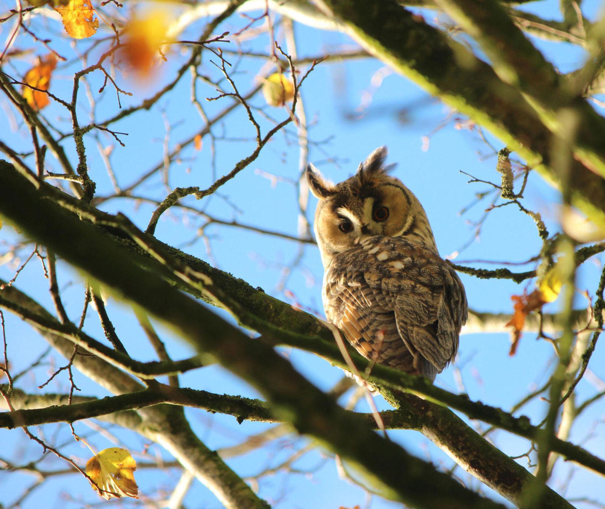 ransuil in herfstboom - jong van de ransuilen. geen beschutting meer tussen blaadjes.... - foto door ljdrost op 05-11-2015 - deze foto bevat: herfst, ransuil, ljdrost, kale boom - Deze foto mag gebruikt worden in een Zoom.nl publicatie