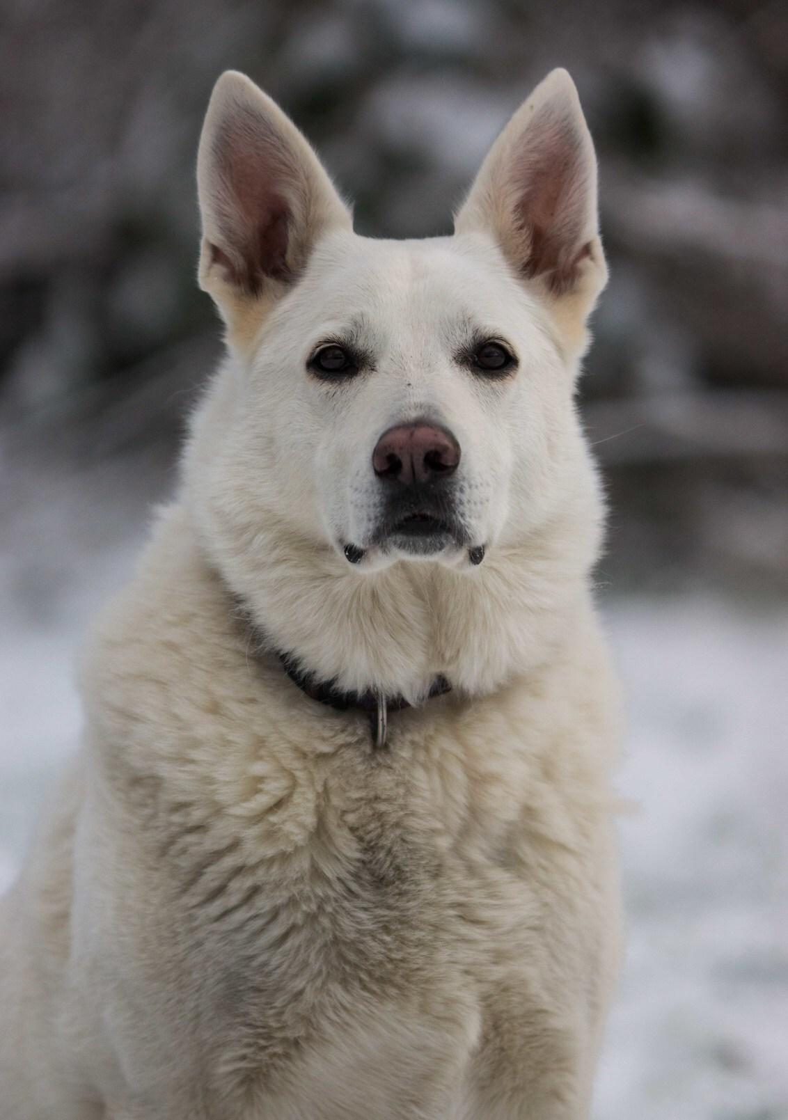 Witte herder - - - foto door casperhanekamp op 17-01-2016 - deze foto bevat: sneeuw, dieren, hond, honden, herder, dier, witte, sony, witteherder, slt, 70-200, a77, Ysja