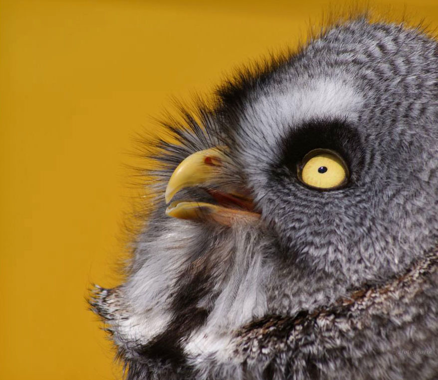 Laplanduil - 2e Close up van een laplanduil,  deze opname maakte ik tijdens een roofvogelshow in het Noord-Hollands duingebied. een geel gekleurde zuil diende b - foto door jzfotografie op 29-09-2015 - deze foto bevat: wit, geel, dieren, duinen, oog, uilen, achtergrond, grijs, roofvogels, snavel, zuil, vogelshow, laplanduil, omhoog, egaal, heemskerk, verenkleed, geversduin, Noord Holland