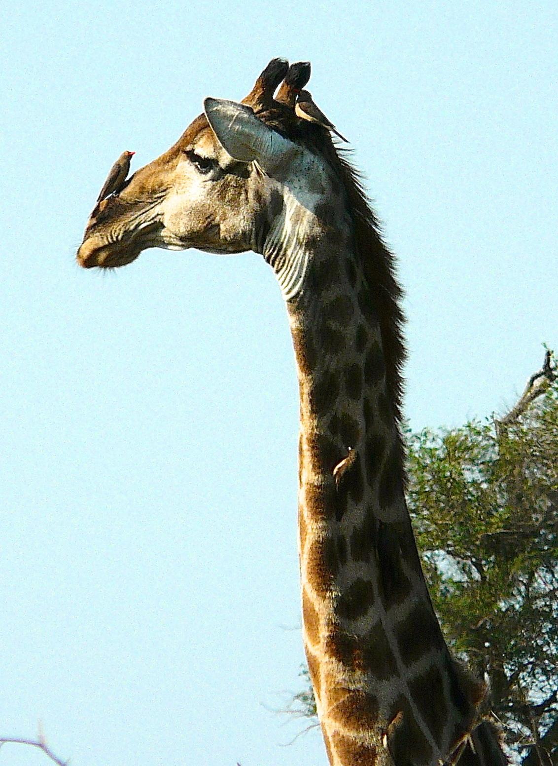 Giraffe - Giraffe met z'n vriendjes, de Geelsnavelossepikkers. - foto door Hans-Lejeune op 26-02-2015 - deze foto bevat: safari, giraffe, krugerpark, roodsnavelossepikker, zuid afrika, hans lejeune