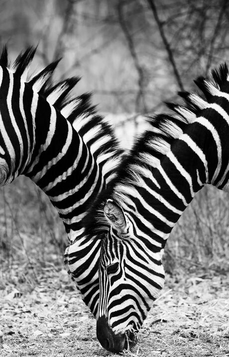 Symmetrische zebra's
