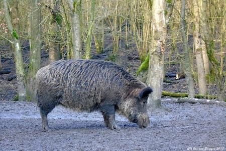 I enjoy mud food.. - Aparte beesten.. ben je een beetje door de natuur aan het struinen, eigenlijk op zoek naar edelherten, hoor je ineens iets van een knorrend geluid in - foto door Redfox16 op 06-03-2018 - deze foto bevat: natuur, dieren, wildlife, wild zwijn, www.jvbfotografie.nl