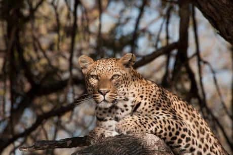 Leopard in tree 1 h.jpg