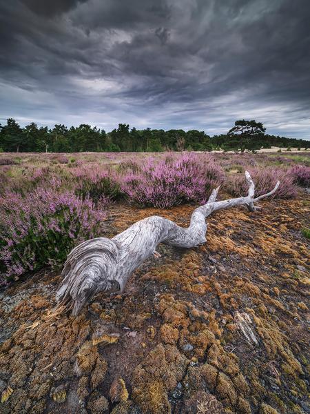 Loonse & Drunense Duinen - Midden op de dag in de Loonse en Drunense duinen. Een prachtige dreigende lucht en een verdienstelijke voorgrand. Prachtig om in dit gebied te fotogr - foto door mvbalkom op 21-08-2020 - deze foto bevat: lucht, natuur, landschap, heide, bomen, fujifilm, kadefilters, loonse en dunense duinen