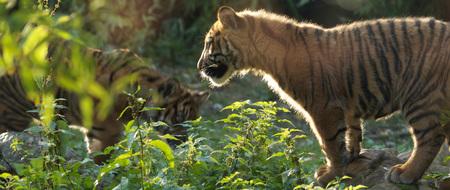 Tijgerwelpjes in blijdorp - Spelende tijgerwelpjes in blijdorp - foto door karmakiller op 23-10-2010 - deze foto bevat: tijger, blijdorp, welpjes