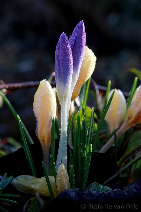 Spring-02 - De lente heeft zich ook in mijn tuintje gemeld - foto door Stefanie71 op 26-02-2017 - deze foto bevat: bloem, lente, natuur, druppel, voorjaar