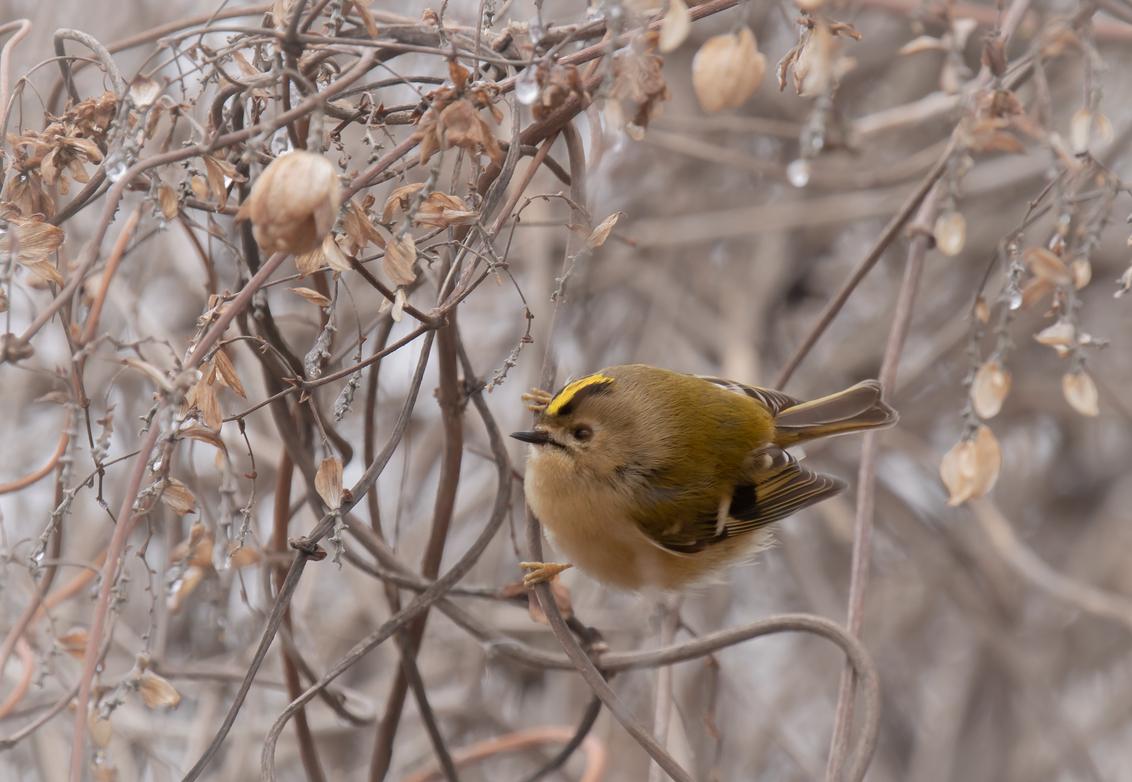 Overwinteren - Even iets anders. Tijdens de winter maak ik veel kilometers, heerlijk in de natuur, en meest op tempo. Camera gaat vrijwel altijd mee en zo nu en dan - foto door franspelzer op 13-02-2021 - deze foto bevat: natuur, winter, vogel, goudhaantje, franspelzer