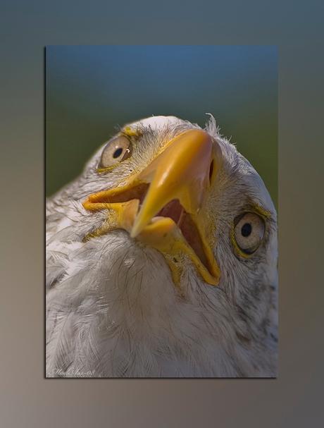 Oenige eagle....