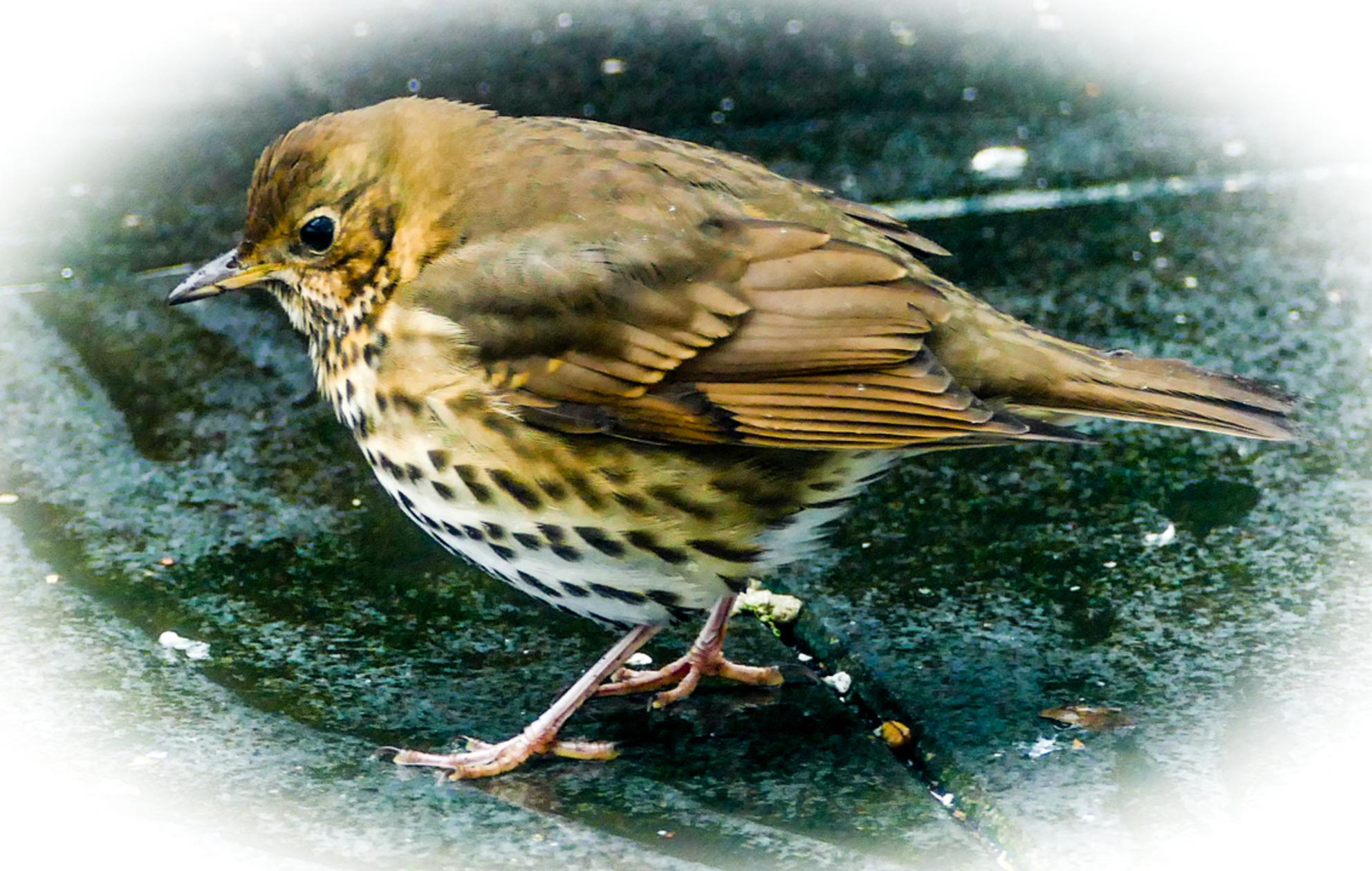 Zanglijster op terras TuinBE - - - foto door HuubZoom op 01-03-2021 - deze foto bevat: vogel - Deze foto mag gebruikt worden in een Zoom.nl publicatie