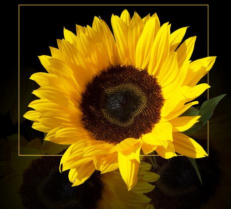 zonnenbloem