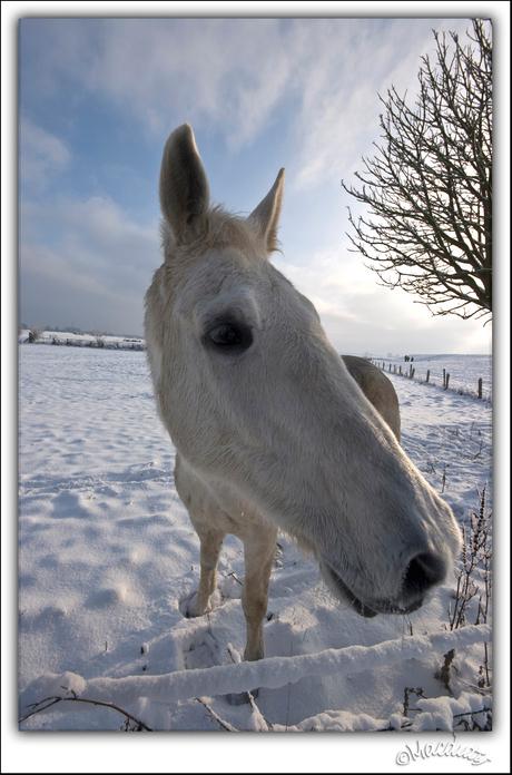 langsnuit (winter pony)