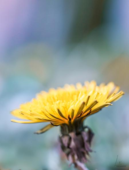 Paardenbloem  - De gele bloem steekt mooi af in de blauwe achtergrond  - foto door Lauravol op 14-04-2021 - locatie: Pijnacker, Nederland - deze foto bevat: macro, lente, paardenbloem, bloem, geel, blauw, spring, natuur, bloem, fabriek, bloemblaadje, vegetatie, lucht, kruidachtige plant, paardebloem, bloeiende plant, eenjarige plant, gras