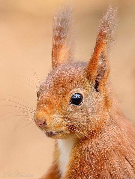 red squirrel - Eekhoorn portret  - foto door eedee op 14-04-2021 - deze foto bevat: eekhoorn, bos, boom, dieren, red, bakkebaarden, oor, fawn, terrestrische dieren, konijnen en hazen, haas, snuit, lever, wimper, euraziatische rode eekhoorn