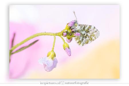 Oranjetipje - Mocht je het je afvragen... de kleuren zijn zo geschoten en niet achteraf toegevoegd. Ik heb namelijk in het veld gebruik gemaakt van gekleurde zakje - foto door in2picturesnature op 20-04-2021 - deze foto bevat: vlinder, oranjetipje, roze, oranje, pinksterbloem, macro, macrofotografie, focusstacking, hondenpoepzakje, bloem, bestuiver, fabriek, insect, geleedpotigen, purper, bloemblaadje, organisme, terrestrische plant, takje