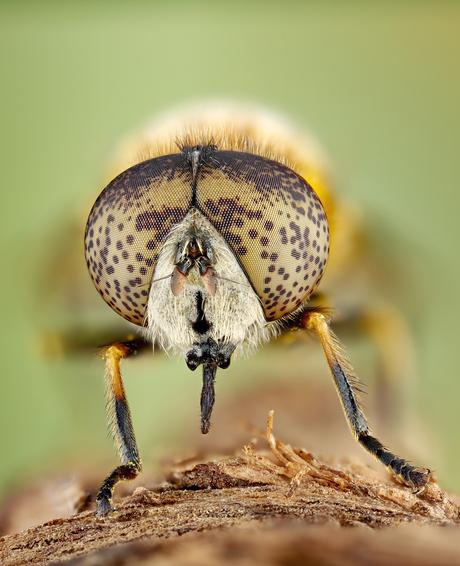 Kustvlekoog (eristalinus aeneus)
