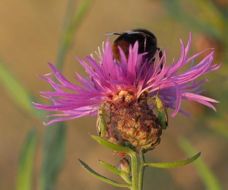 Die is lekker  - Met zijn vieren erin - foto door pietsnoeier op 17-04-2021 - locatie: 2136 Zwaanshoek, Nederland - deze foto bevat: bloem, fabriek, schadelijke wiet, bestuiver, insect, geleedpotigen, purper, bloemblaadje, bloeiende plant, eenjarige plant