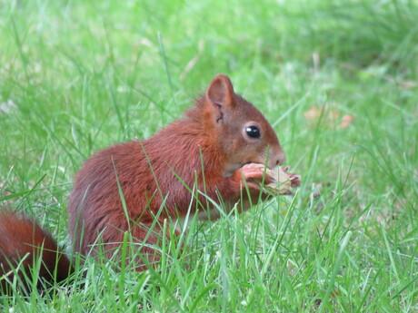 Eekhoorn eet pinda