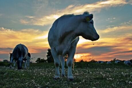 Dikke billen runderen bij zonsondergang