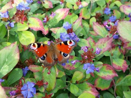 Dagpauwoog vlinder tussen de bloemen