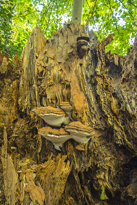 zwammen op vergane boomstam