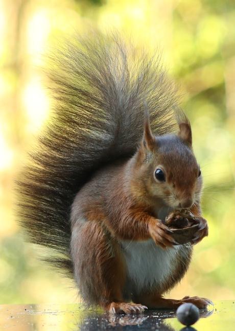 Rode eekhoorn I