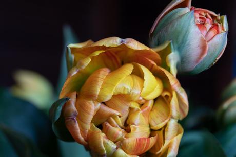 2 tulpjes