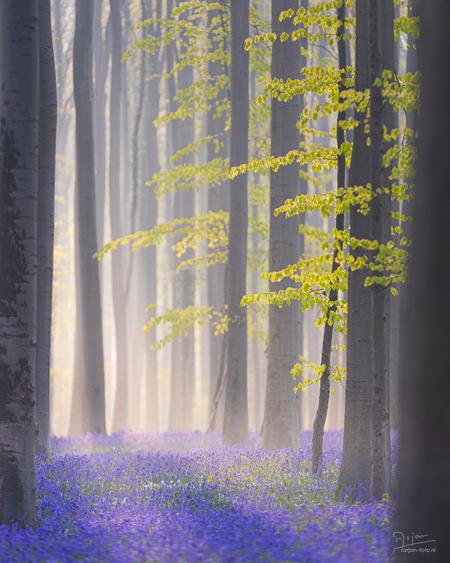 Mistige zonsopkomst in het Hallerbos - Het is vroeg opstaan (3u 'sochtends!) en twee en een half uur rijden, maar de moeite waard! Wilde hyacinten die een blauwe deken maken, terwijl de zo - foto door arjan-foto op 04-05-2021 - locatie: Hallerbos, België - deze foto bevat: bos, zonsopkomst, mist, mistig, nevel, hyacint, hyacinten, bloemen, blauw, magisch, mysterieus, bomen, bladeren, zonnestralen, paars, bloemenzee, atmosfeer, fabriek, blad, natuur, natuurlijke omgeving, afdeling, natuurlijk landschap, mensen in de natuur, hout, vegetatie