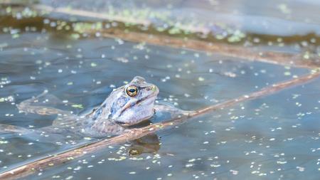 Blauw - De blauwe heidekikker. Die stond al een tijdje op mijn lijstje. En daar zat die dan in een klein poeltje in de Zouweboezem. Maar ja, een klein watert - foto door marielledevalk op 10-04-2021 - locatie: Zouwendijk 143, 4231 CD Meerkerk, Nederland - deze foto bevat: kikker,, voorjaar,, blauwe heikikker, water, kroos, lijnenspel, natuur, water, vloeistof, oog, vloeistof, pad, echte kikker, kikker, terrestrische dieren, meer, waterplant