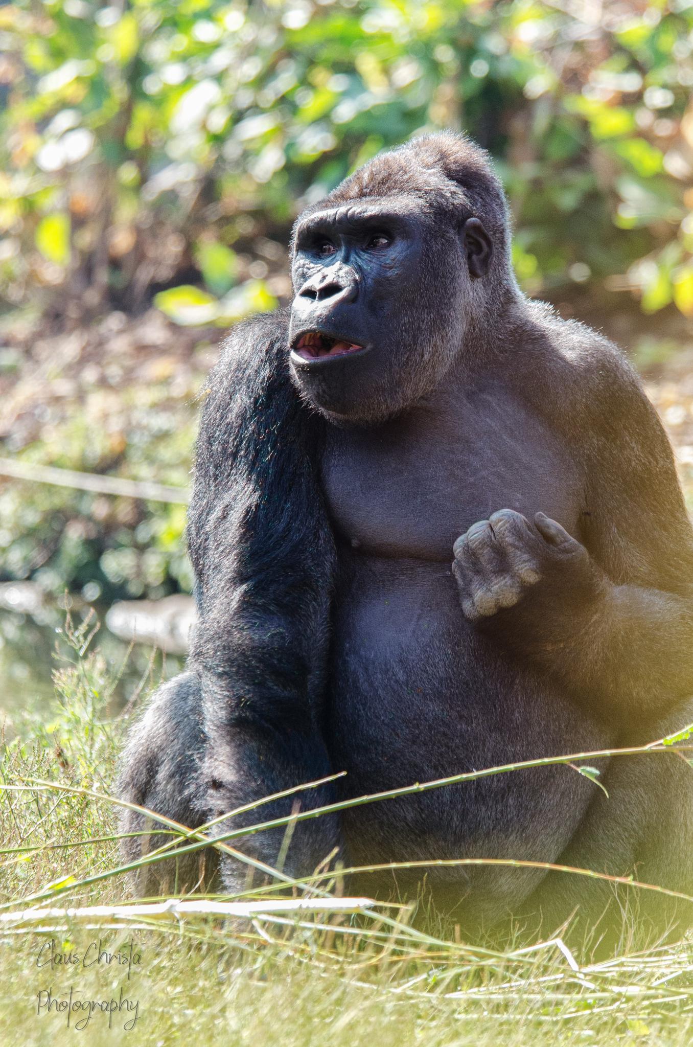 """""""'t Is niet waar, eh?!"""" - Verbaasde gorilla - foto door Christa66 op 16-04-2021 - locatie: Domaine de Cambron, 7940 Brugelette, België - deze foto bevat: gorilla, mensaap, aap, primaat, dier, pairi daiza, dierenpark, zilverrug, primaat, fabriek, tempel, terrestrische dieren, gras, bodembedekker, snuit, rimpel, gemeenschappelijke chimpansee, vacht"""