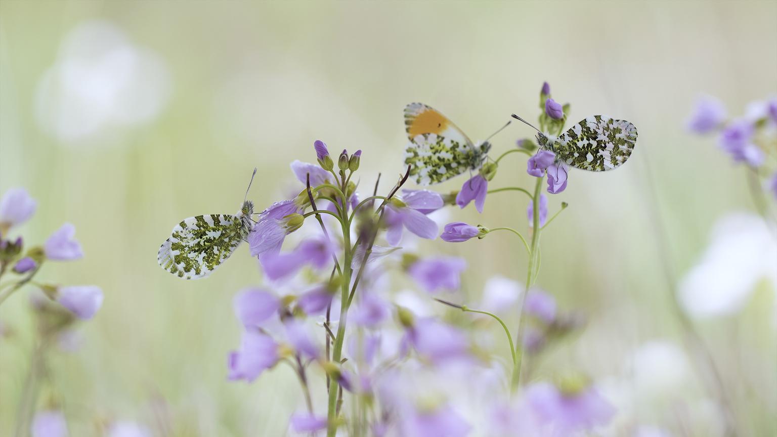 Op een mooie Lentedag  - Zomaar een romantisch tafereeltje. Twee oranjetip mannetjes en een vrouwtje op een mooie lentemorgen met zacht licht. - foto door daan de vos op 04-05-2021 - locatie: Breda, Nederland - deze foto bevat: oranjetipje, oranjetipjes, pastel, pinksterbloemen, macro, natuur, voorjar, lente, roze, oranje, bloem, fabriek, bestuiver, insect, vlinder, geleedpotigen, purper, motten en vlinders, organisme, paars