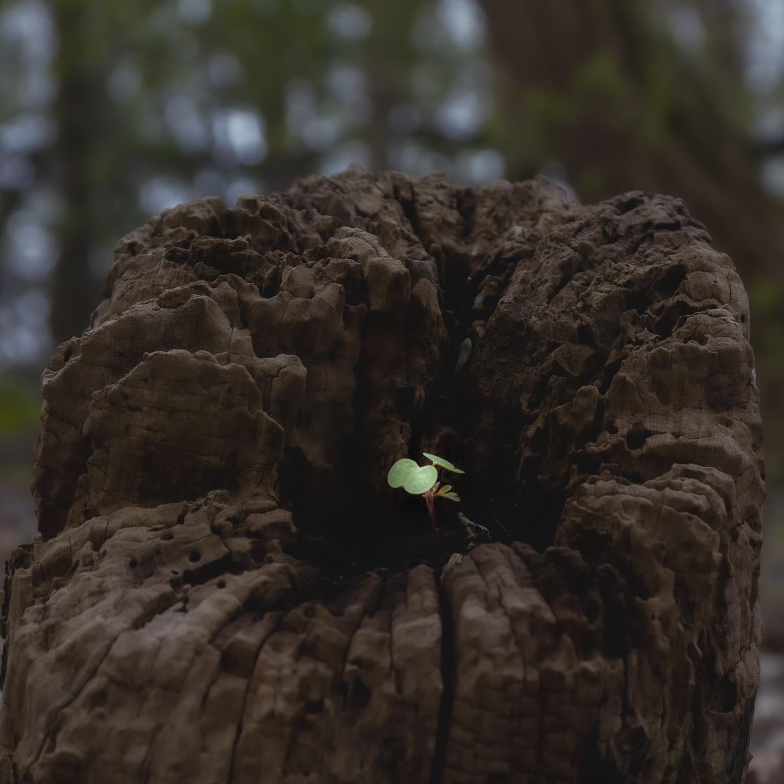 Jong - Dit plantje koos als zijn groeiplaats de stronk van deze oude boom - foto door Wallie54 op 10-04-2021 - deze foto bevat: boom, groei, groen, nuenen, enode, vers, fabriek, bek, hout, bodem, kofferbak, terrestrische plant, gras, landschap, boom, ontsluiting
