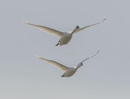 Vliegen in formatie - Deze 2 zwanen kwamen zo mooi in formatie overgevlogen dat het net een show leek. - foto door Steef29 op 11-04-2021 - deze foto bevat: vogel, lucht, gewervelde, bek, vloeistof, veer, migratie van dieren, zeevogel, vogel migratie, vleugel