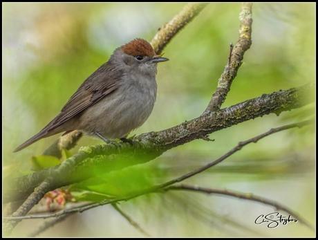 De zwartkop (Sylvia atricapilla) is een zangvogel uit de familie van zangers (Sylviidae).