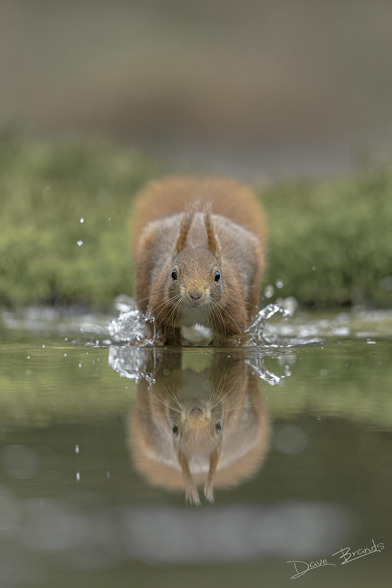 Walk on water! - Deze eekhoorn besloot ineens om dwars door het ondiepe water op me af te komen rennen. - foto door daveenrenee op 07-04-2021 - locatie: Noord-Brabant, Nederland - deze foto bevat: eekhoorn, water, reflectie, actie, natuur, groen, scherptediepte, canon, water, vloeistof, vloeistof, knaagdier, fawn, snuit, terrestrische dieren, staart, dieren in het wild, macrofotografie