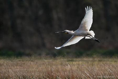 Lepelaar vliegt op - De lepelaar zoekt het luchtruim om een stukje verderop zijn geluk opnieuw te beproeven. De zon schijnt prachtig door de veren van de vleugels heen.   - foto door HenkSt op 13-04-2021 - locatie: Texel, Nederland - deze foto bevat: lepelaar, vogel, texel, opvliegen, vogel, fabriek, bek, vleugel, gras, grasland, lucht, natuurlijk landschap, ciconiiformes, veer