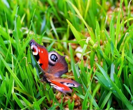 Vlinder - Prachtige vlinder in de tuin - foto door Partysimoon op 16-04-2021 - locatie: Enschede, Nederland - deze foto bevat: vlinder, aglais i, bestuiver, insect, vlinder, geleedpotigen, fabriek, groen, motten en vlinders, plantkunde, terrestrische plant