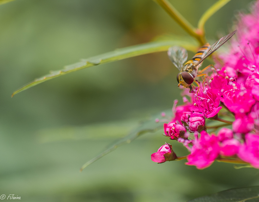 Pink ribbon - Oktober Pink ribbon maand.  Zweefvliegje op Spoorbloem.  F 2.8 ISO 200 1/500 45 mm  Dank voor de waarderingen op mijn vorige upload. Fijn w - foto door Fjanina op 27-10-2017 - deze foto bevat: roze, natuur, zweefvliegje, pink ribbon