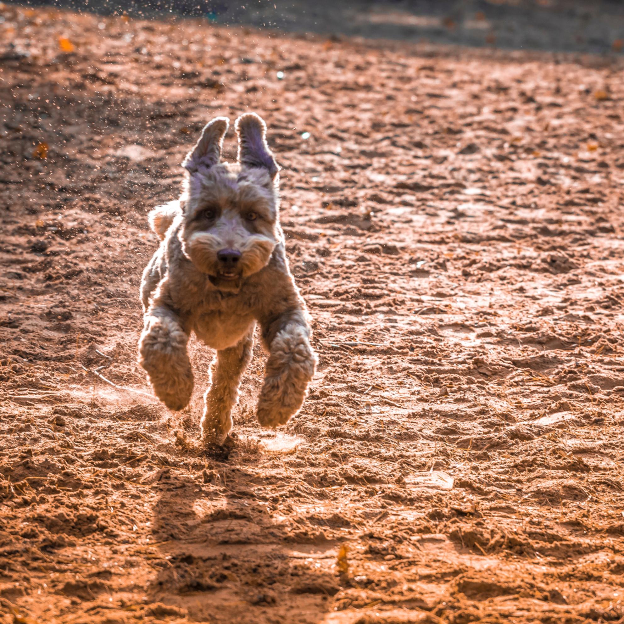 Wil Toby een koekje? - Toby vindt het heerlijk in het bos. En als we dan ook nog een strook zand tegenkomen, gaat-ie helemaal los. - foto door rheuvelm op 31-10-2018 - deze foto bevat: hond - Deze foto mag gebruikt worden in een Zoom.nl publicatie