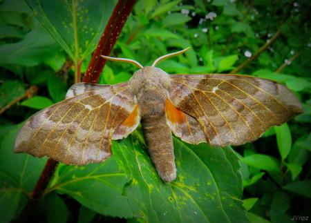 Populierenpijlstaart  - De Populierenpijlstaart is een nachtvlinder deze kun je waarnemen vanaf half april tot begin september.  De spanwijdte ligt tussen 70 tot 90 millimet - foto door Vissernpz op 07-04-2021 - locatie: 9988 TE Noordpolderzijl, Nederland - deze foto bevat: nachtvlinder, grote, nacht, groen, bruin, natuur, close-up, bestuiver, insect, geleedpotigen, vlinder, fabriek, organisme, motten en vlinders, larve, terrestrische plant, vleugel