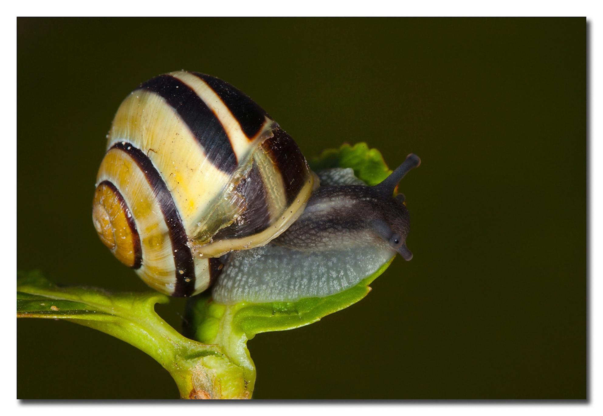 Slakje - een slak in eigen tuin voor sommigen een vijand omdat deze de planten aan vreed voor de lijster een lekker maaltje!!!  Effies in het groot bekijken - foto door Anna Rass op 05-05-2012 - deze foto bevat: nature, natuur, slak, tuin, dier, anna