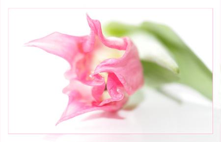 Tulp - bedankt voor jullie reacties op het vetplant bloempje - foto door van9791 op 21-03-2013 - deze foto bevat: roze, tulp, liggend, witte plaat