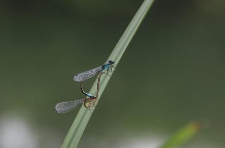 Parende libellen op een rietstengel